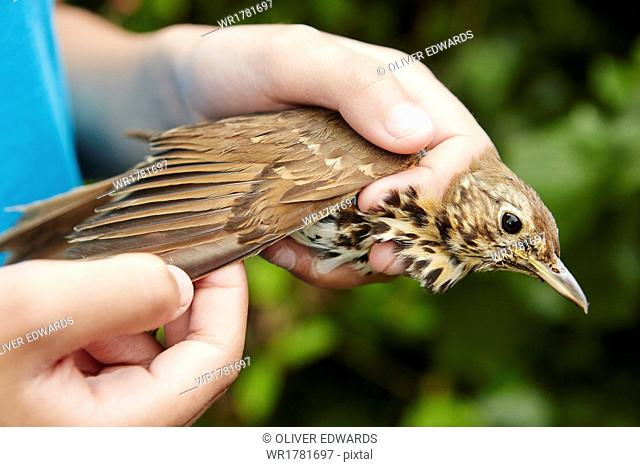 A girl holding a wild bird carefully in her hands checking the wing