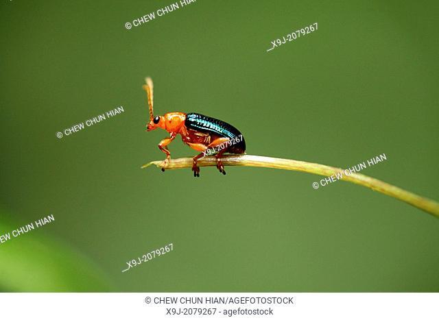 Beetle, borneo