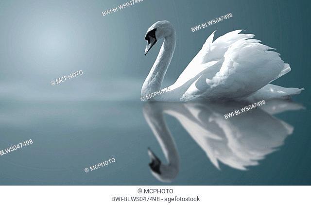 mute swan Cygnus olor, Swan floating on peaceful waters