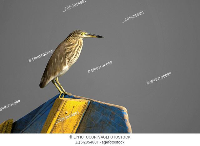 Indian Pond Heron, Ardeola grayii, Ujjani Dam backwaters, Bhigwan, Maharashtra, India