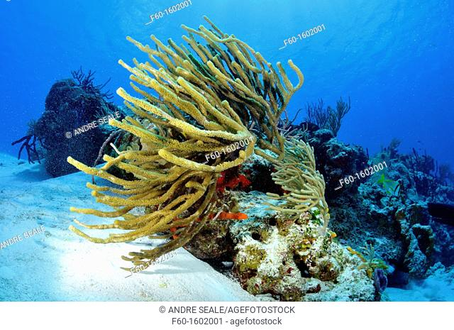 Coral reefs and sponges, Cozumel, Quintana-Roo, Mexico, Caribbean Sea
