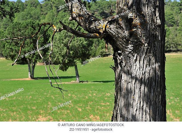 Juniper trunk in the Alto Tajo Natural Park. Huertahernando, Guadalajara, Spain