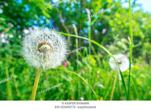 White dandelion flowers in green grass