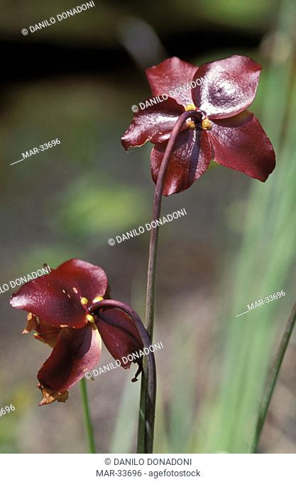 sarracenia purpurea carnivorous plant, okefenokee n.w.r., usa