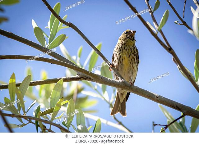Small female sparrow sitting and singing on a branch in an olive tree branch