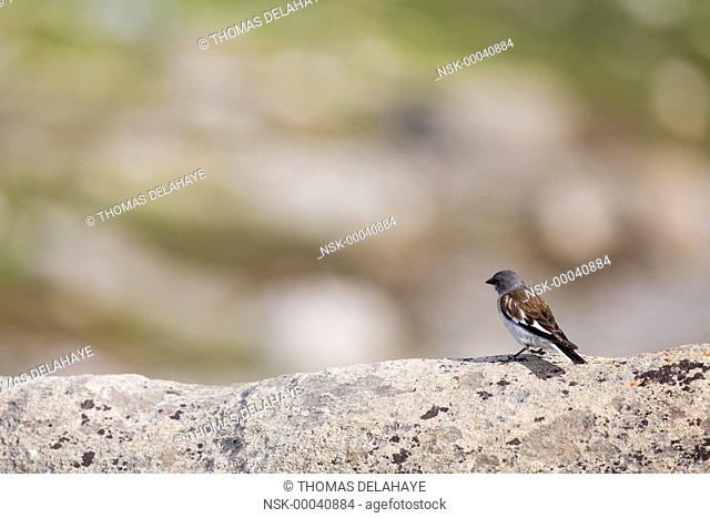 White-winged Snowfinch (Montifringilla nivalis) adult on a rock, France, Pralognan la vanoise