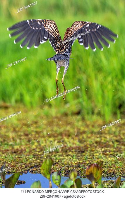"Rufescent Tiger-Heron (Tigrisoma lineatum), photographed in Sooretama, Espírito Santo - Southeast of Brazil. Atlantic Forest Biome. """""