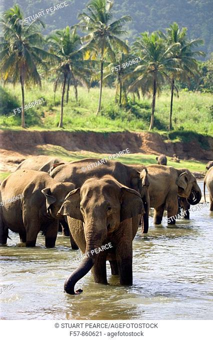 Pinnewela Elephant Orphanage, Sri Lanka