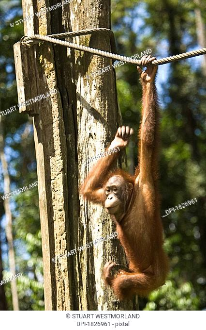 Juvenile Orangutan hanging on a rope