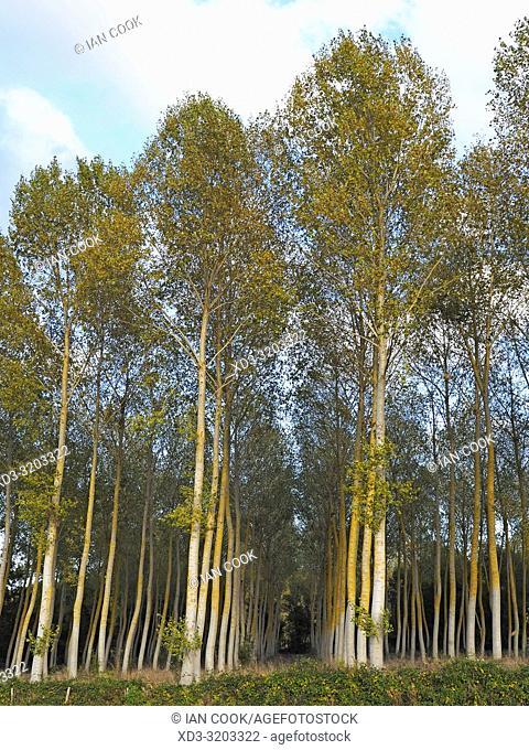 Poplar, Populus, plantation, Lot-et-Garonne Department, Nouvelle Aquitaine, France