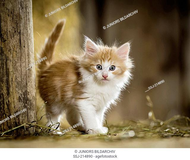 Norwegian Forest Cat. Kitten standing in a barn next to a wooden beam. Germany