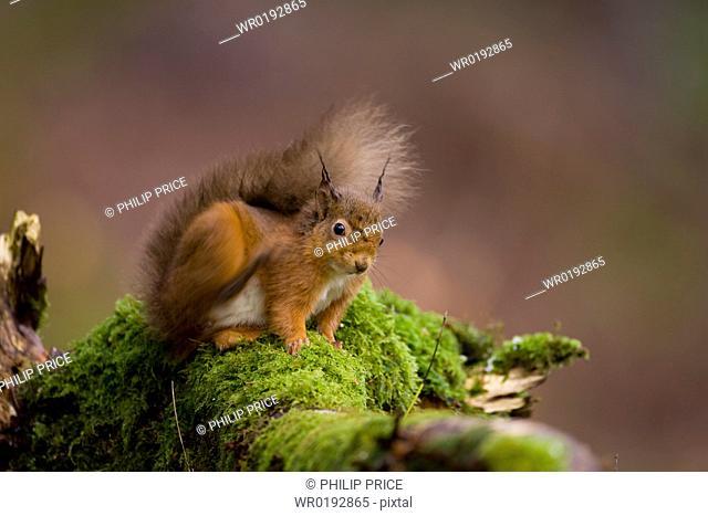 Red Squirrel Sciurus vulgaris sitting on mossy branch, scratching Loch Awe, nr Oban, Scotland, UK