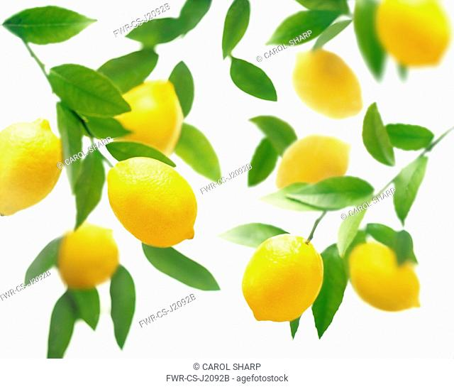 Lemon, Citrus limon, Overhead view of lemons on stalks with leaves, with more soft focus behind on a white background