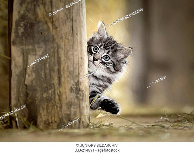 Norwegian Forest Cat. Kitten looking out from behind a wooden beam in a barn. Germany