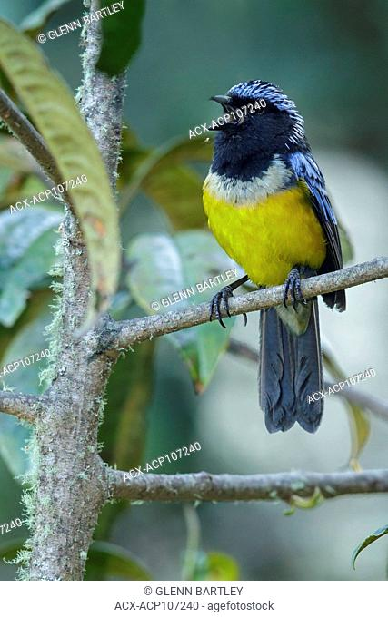 Buff-breasted Mountain Tanager (Dubusia taeniata) perched on a branch in the mountains of Colombia, South America