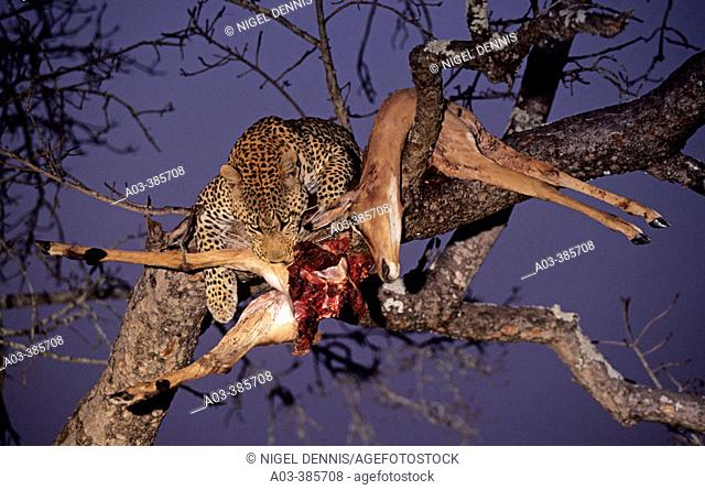 Leopard (Panthera pardus) with impala killed in tree. Sabi Sabi, Greater Kruger Park, South Africa