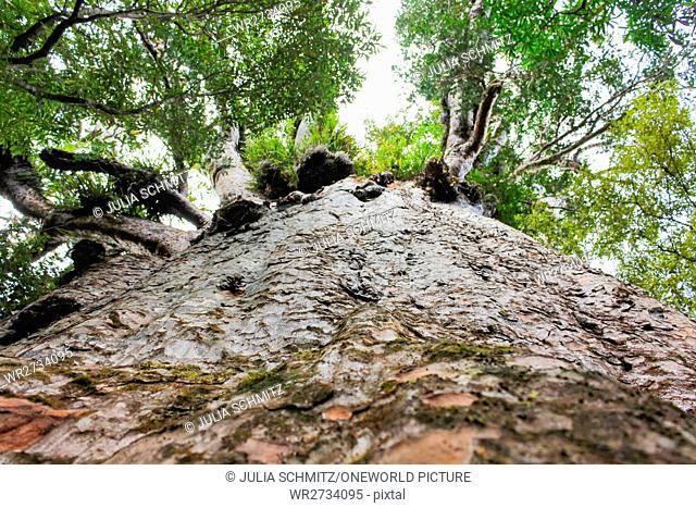 New Zealand, North Island, Northland, Waipoua Kauri Forest, Kaori Trees, Giant Trees