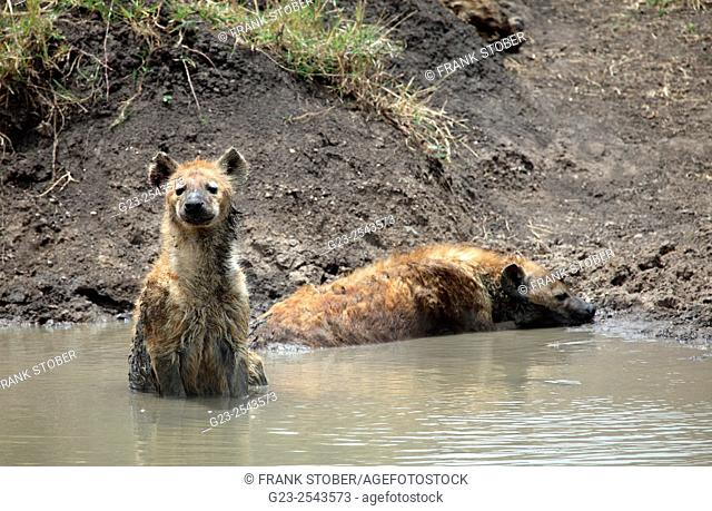 Two bathing hyena. Maasai Mara, Kenya