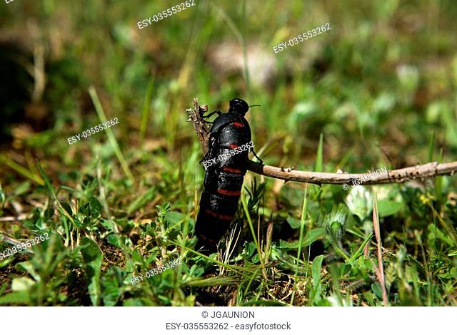Blister beetle climbing a plant, Alor Mountain Range, Extremadura, Spain