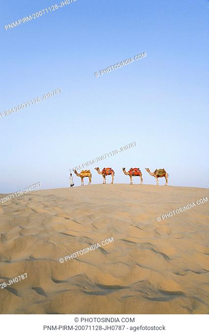 Four camels standing in a row with a man, Jaisalmer, Rajasthan, India