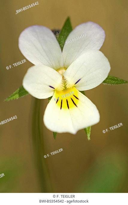 cultivated pansy, field pansy, small wild pansy (Viola arvensis), flower, Germany