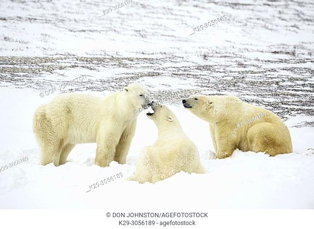 Polar Bear (Ursus maritimus) Group Interaction along Hudson Bay coast, Wapusk NP, Cape Churchill, Manitoba, Canada