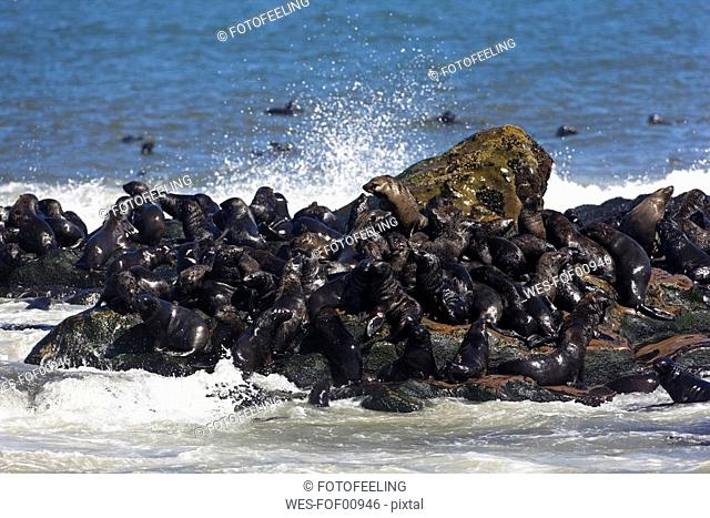 South Africa, Cape Cross, Cape Fur Seals Arctocephalus pusillus on shore