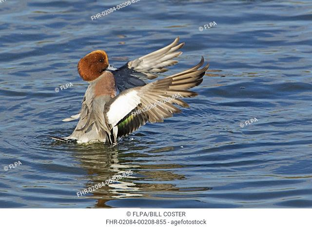 Eurasian Wigeon Anas penelope adult male, flapping and drying wings on water, Caerlaverock, Dumfries, Scotland, november