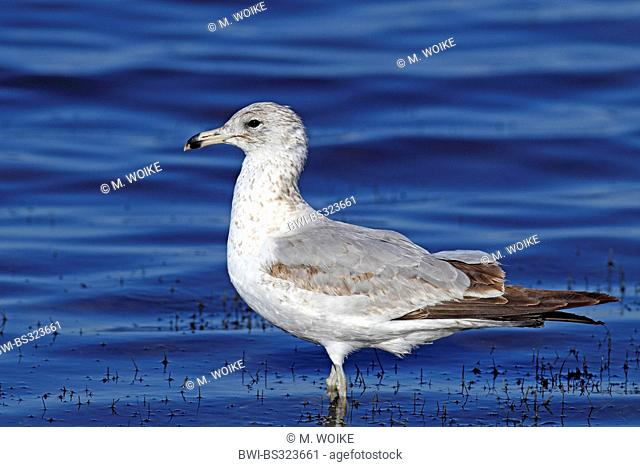 ring-billed gull (Larus delawarensis), standing in shallow water, USA, Florida, Merritt Island