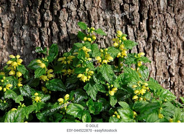 Yellow Archangel flower plants ground cover