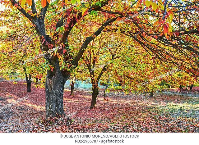 Autumn, Chesnut forest, Castanea sativa, Valle del Genal, Genal Valley, Genal river valley, Serranía de Ronda, Málaga province, Andalusia. Spain