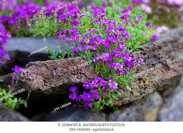 False Rock Cress 'Whitewell Gem.' Aubrieta Cultorum