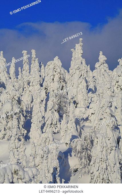 Snowy trees at Iso-Syöte, Finland