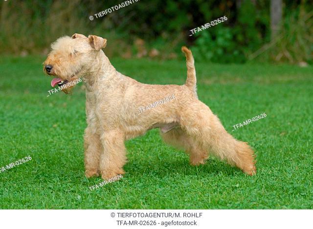 Lakeland Terrier on meadow