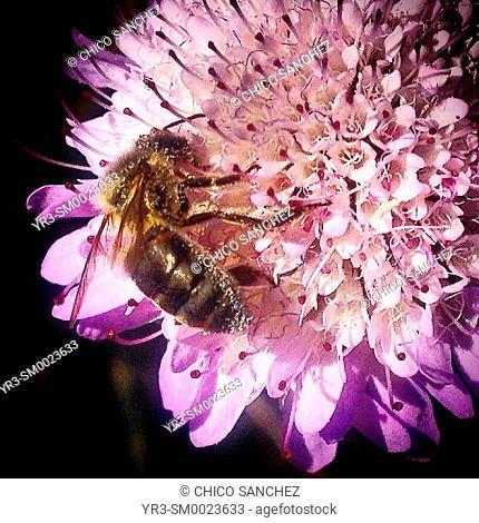 A honey bee licks nectar from a pink flower in Prado del Rey, Sierra de Cadiz, Andalusia, Spain