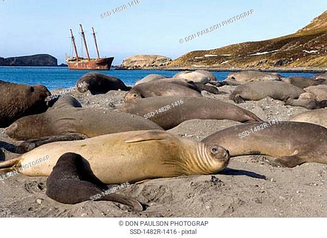 Southern Elephant seals Mirounga leonina on the beach, Shipwreck Bayard, Ocean Harbour, South Georgia Island, South Sandwich Islands