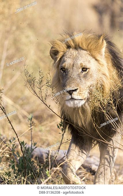 Africa, Southern Africa, Bostwana, Savuti National Park, Lion (Panthera leo), adult male resting in the savannah, walking
