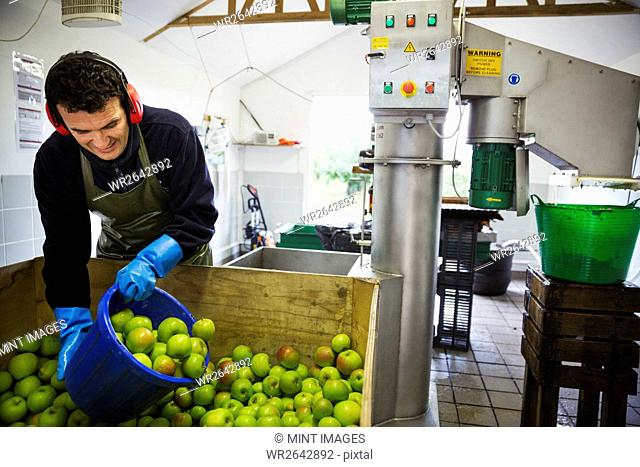 A man scooping fresh green whole apples in a bucket to load the scratter or grating machine
