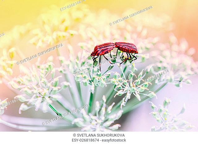 A pair of red shield bugs making love on white flowers against a light blurred background. Selective focus, toning