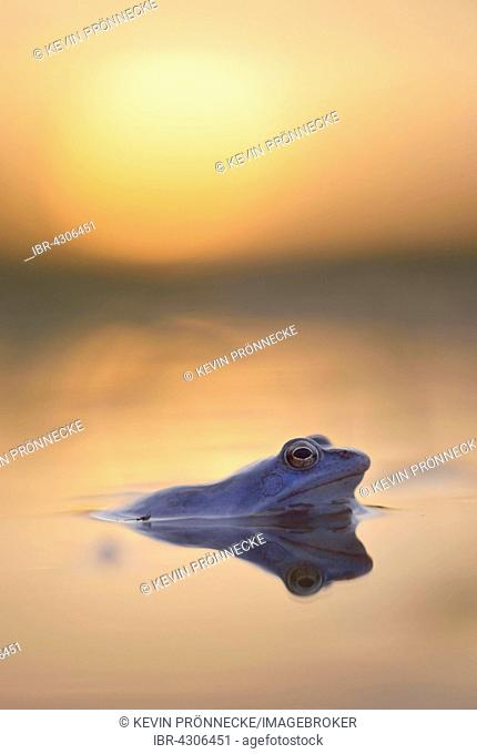 Moor frog (Rana arvalis), blue coloured male during mating season, in spawning waters, evening light, Elbe, Saxony-Anhalt, Germany