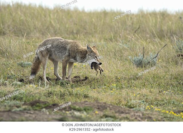 Coyote (Canis latrans) Eating a prairie dog, Theodore Roosevelt NP (South Unit), North Dakota, USA
