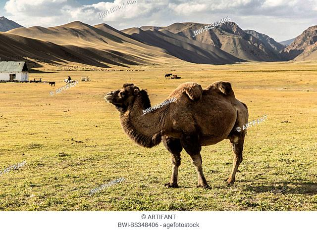 Bactrian camel, two-humped camel (Camelus bactrianus), standing in steppe, Kyrgyzstan, Naryn
