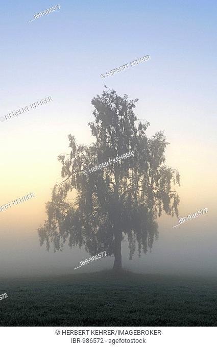 Silver Birch, European Weeping Birch, European White Birch (Betula pendula) in the fog