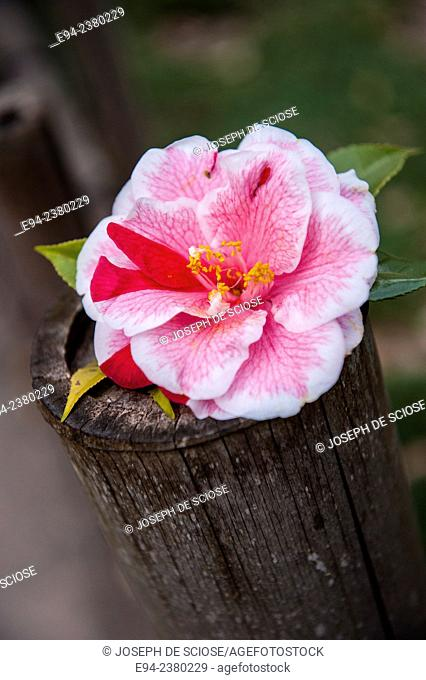 Close up of a pink camellia flower in a wooden vase