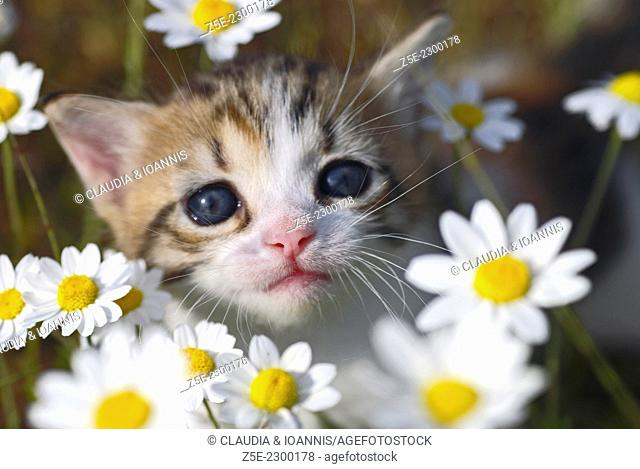 Three weeks old kitten sitting between flowers and looking up at camera