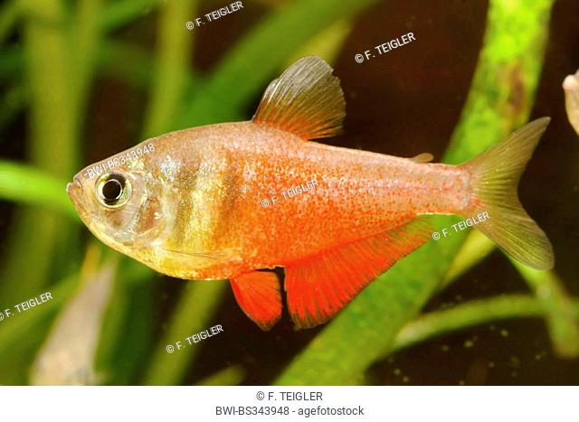 flame tetra (Hyphessobrycon flammeus), swimming