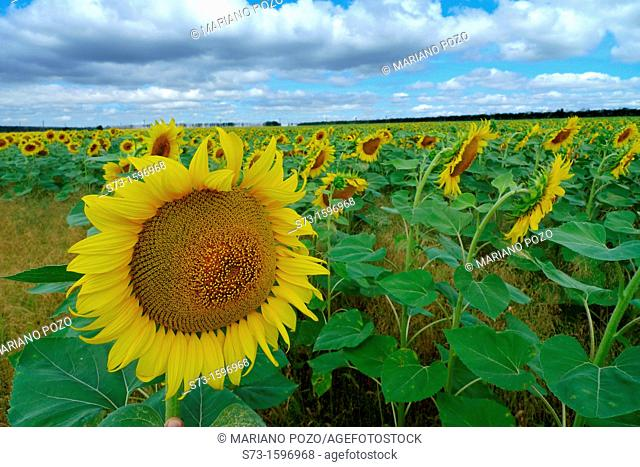 Sunflower field in Samara region, Russian Federation