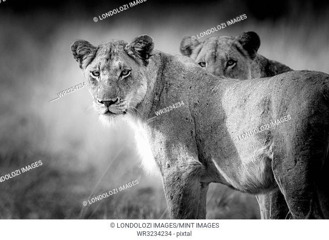 Two lions, Panthera leo, standing with alert, in black and white
