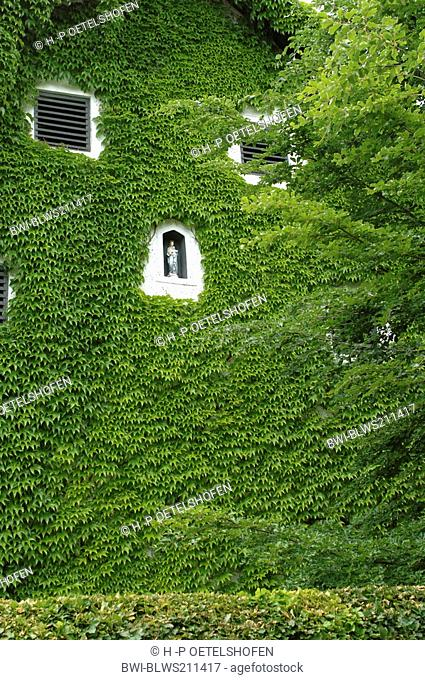Boston ivy, Japanese creeper Parthenocissus tricuspidata, overgrown gable with a picture of the Madonna, Germany, Bavaria