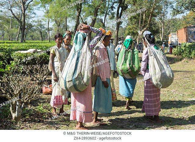 Indian women carrying on their head a bag filled with tea leaves, For editorial Use only, Assam, India